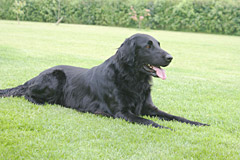 Dram, flatcoat retriever, sire
