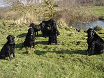 group of flatcoat retrievers